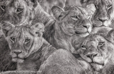 A Sri Lankan's Photograph of African Lionesses Captivates The World